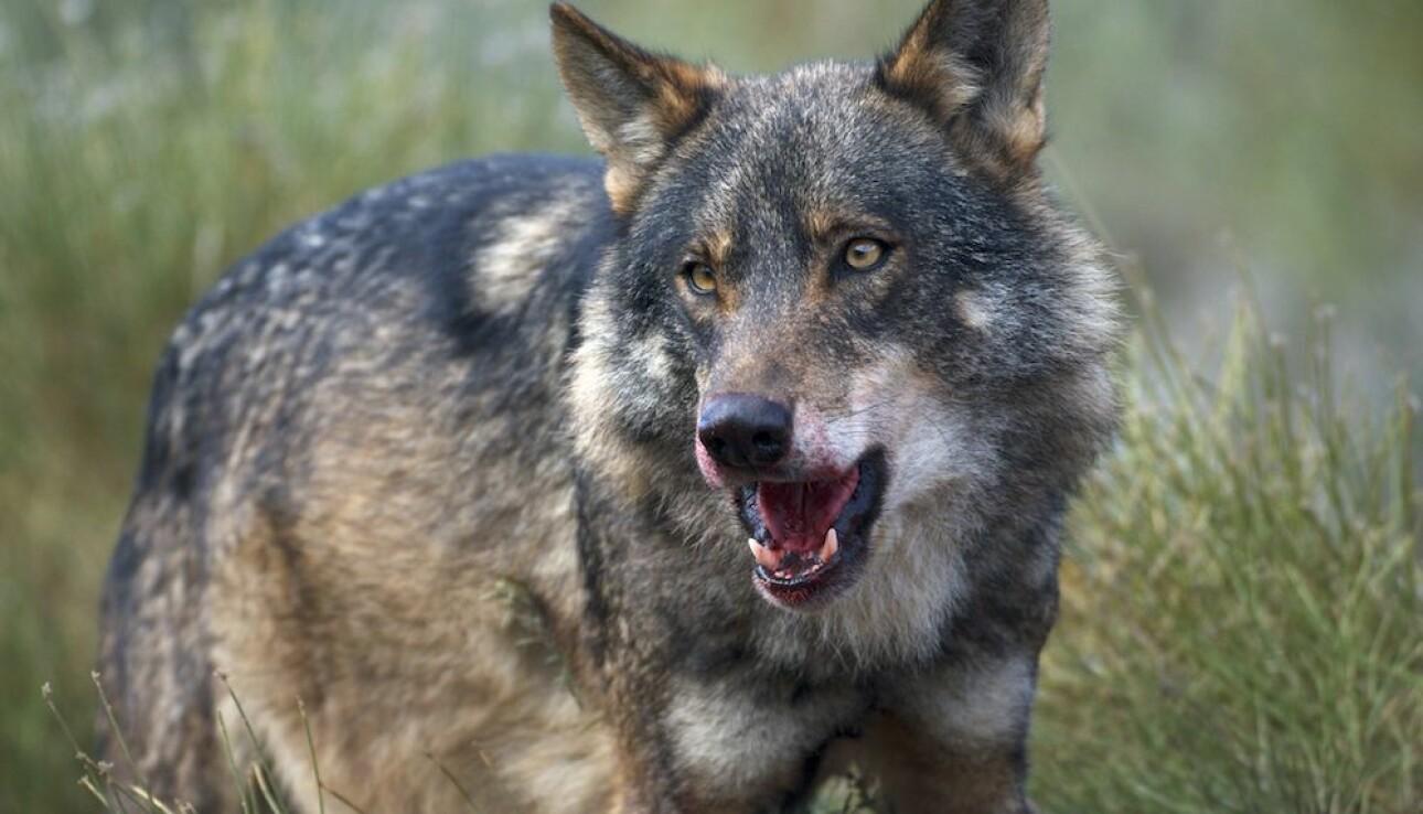 En ulv i ferd med å spise en hjort. Foto: Arturo de Frias Marques, CC BY-SA 3.0.