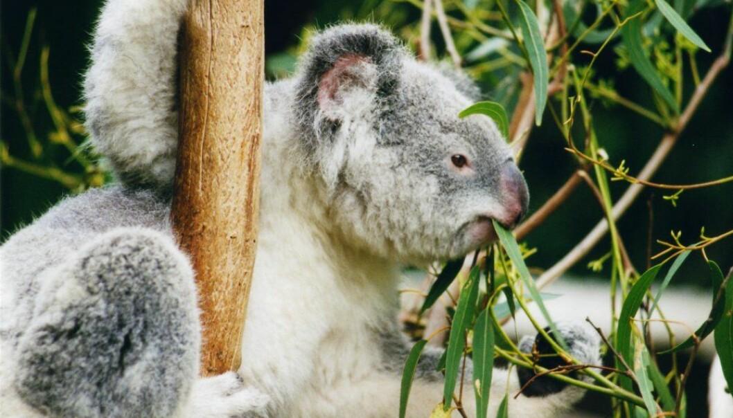 Det blir færre koalaer på grunn av tap av habitat. Klimaendringer og skogbranner truer også.